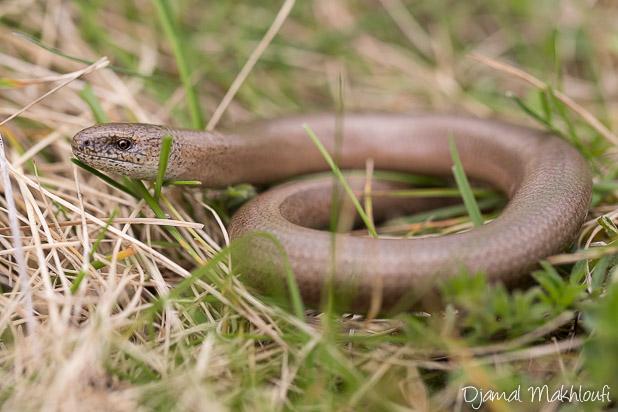 Orvet - Reptile d'Ile de France (Seine et Marne)