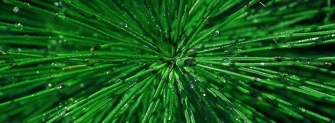 Prèle des champs (Equisetum arvense)