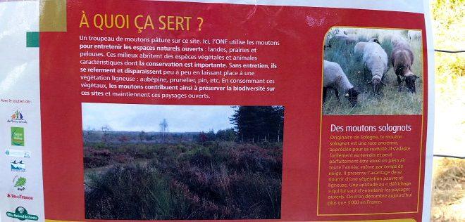 Écopaturage en forêt de Fontainebleau