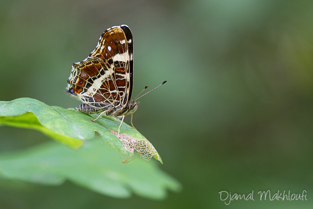 Araschnia levana - papillon carte géographique