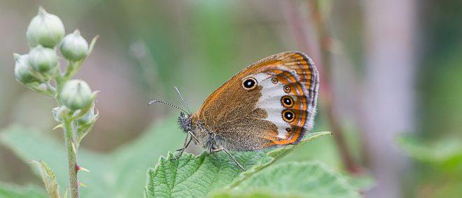 Papillon Céphale (Coenonympha arcania)