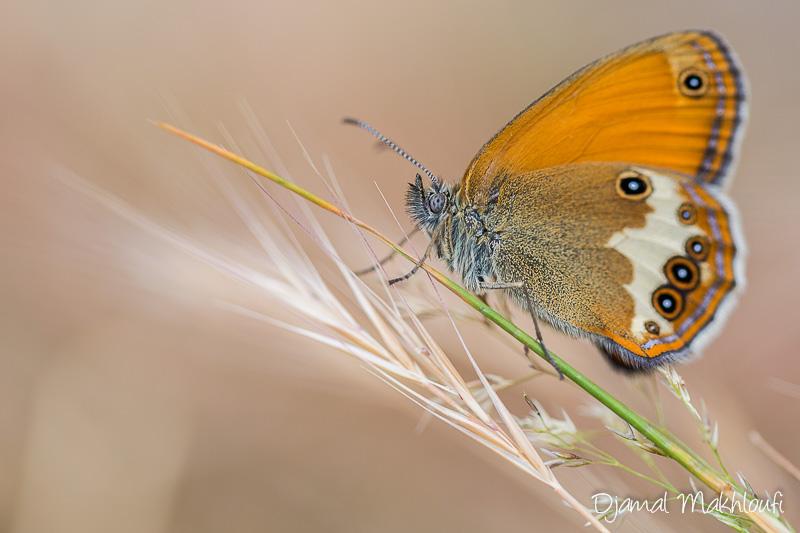 Céphale (Coenonympha arcania) - Papillon de la forêt de Fontainebleau