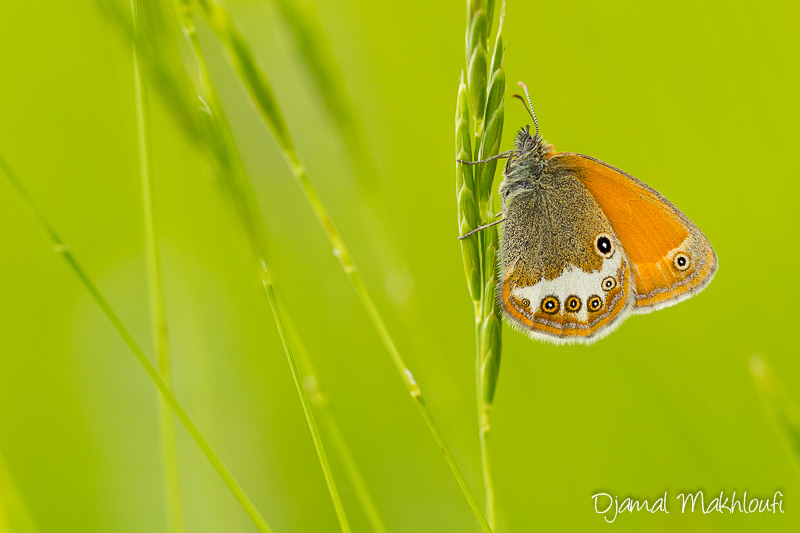 Céphale (Coenonympha arcania) - papillon photo