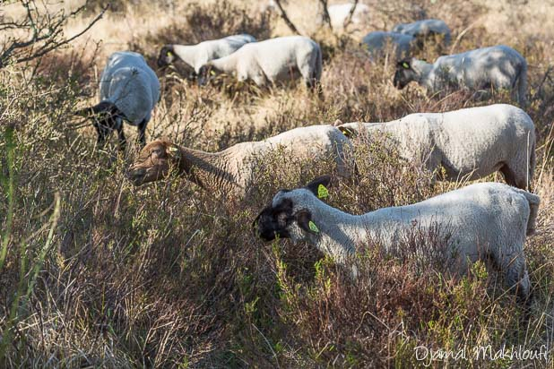 Moutons solognots de la Plaine de Macherin en forêt de Fontainebleau