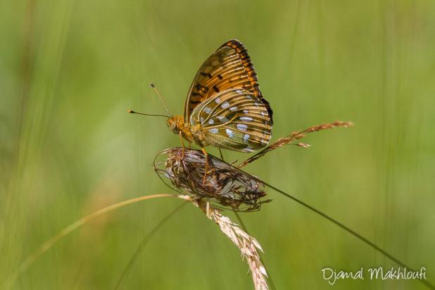 Grand Nacré (Argynnis aglaja) - Papilon de la forêt de Fontainebleau
