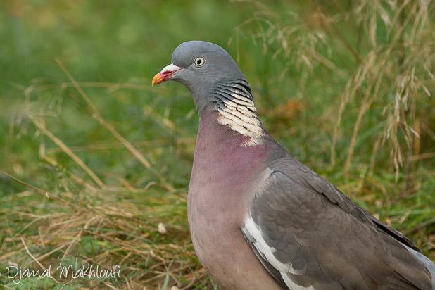 Pigeon sauvage - Pigeon ramier - Photo