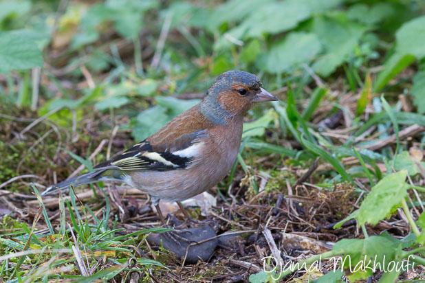Pinson des arbres - Oiseau de la forêt de Fontainebleau