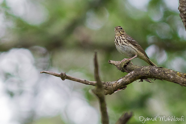 Pipit des arbres - Oiseau de la forêt de Fontainebleau