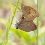 Accouplement de papillons myrtil