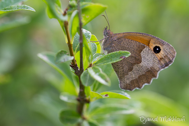 Myrtil (Maniola jurtina) - Photo Papillon