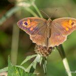 Myrtil femelle (Maniola jurtina) - Papillon de la forêt de Fontaineblea