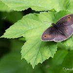Myrtil mâle (Maniola jurtina) - Papillon de la forêt de Fontainebleau