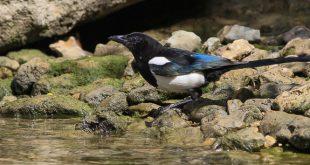 Pie bavarde (Pica pica) - Oiseau de la forêt de Fontainebleau
