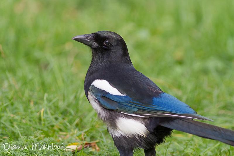 Pie bavarde - La pipelette (Oiseau) de la forêt de Fontainebleau