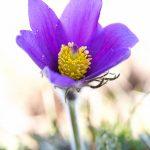 Anémone pulsatille (Anemone pulsatilla) - Fleur sauvage d'avril