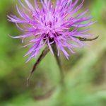 Centaurée jacée - Fleurs sauvages de juin