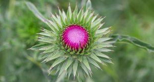 chardon - Fleurs sauvages aout
