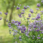 Coronille bigarrée - Fleurs sauvages de juillet