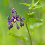 Douce-amère - Fleurs sauvages de juin