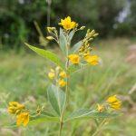 Grande lysimaque - Fleurs sauvages de juillet