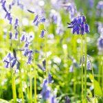 Jacinthes des bois (Hyacinthoides non-scripta) - Fleur sauvage d'avril