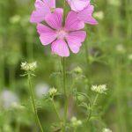 Mauve alcée - Fleurs sauvages de juillet