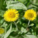 Pulicaire dysentérique - Fleurs sauvages de juillet
