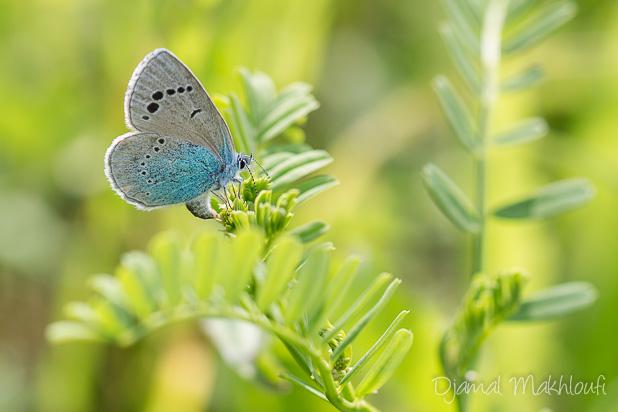 Azuré des cytises (glaucopsyche alexis) - Le lycène bleu - Argus bleu - Azuré