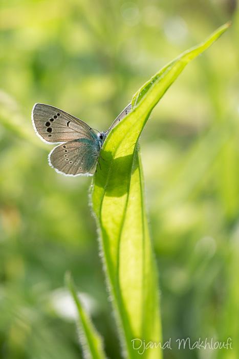 Azuré des cytises - Lycène bleu (glaucopsyche alexis) - Argus bleu - Azuré
