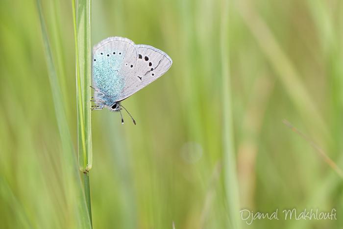Azuré des cytises (glaucopsyche alexis) - Papillon de la forêt de Fontainebleau