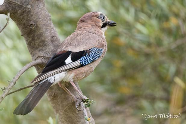 Geai des chênes - Oiseau de la forêt de Fontainebleau