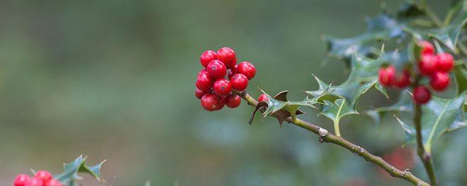 Houx - Arbuste de la forêt de Fontainebleau