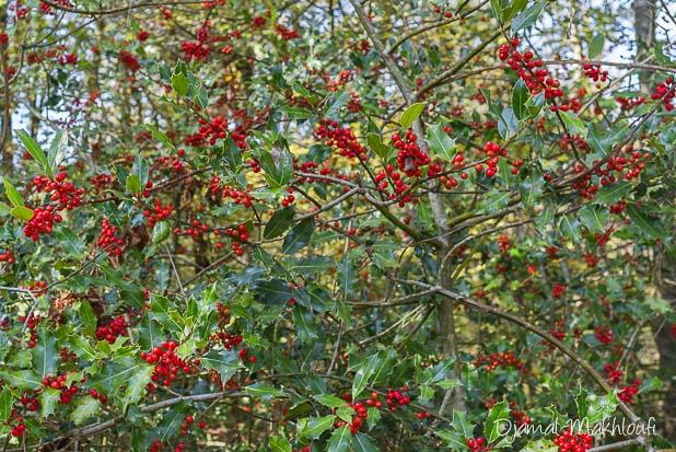 Houx arbuste de la forêt de Fontainebleau