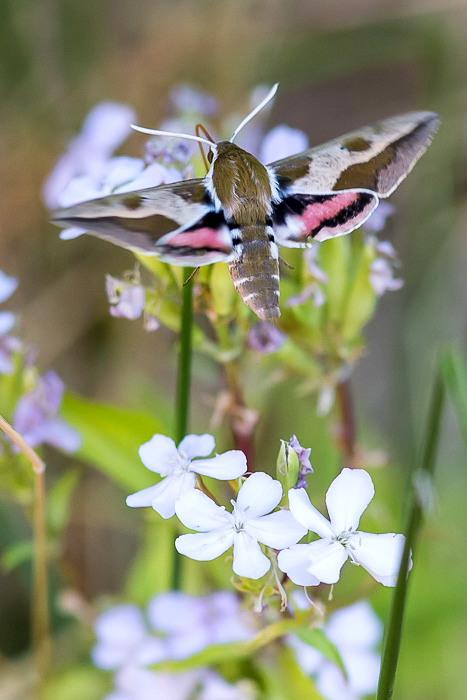 Sphinx de l'euphorbe (Hyles euphorbiae) - papillon de la forêt de Fontainebleau