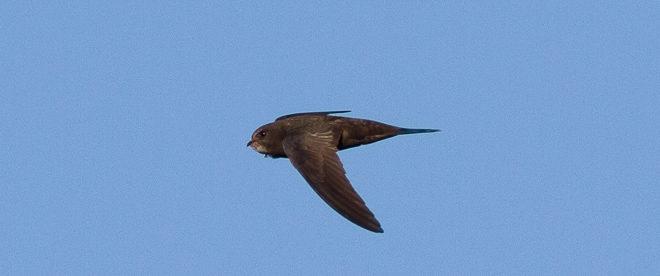 Martinet noir - Oiseau de la forêt de Fontainebleau