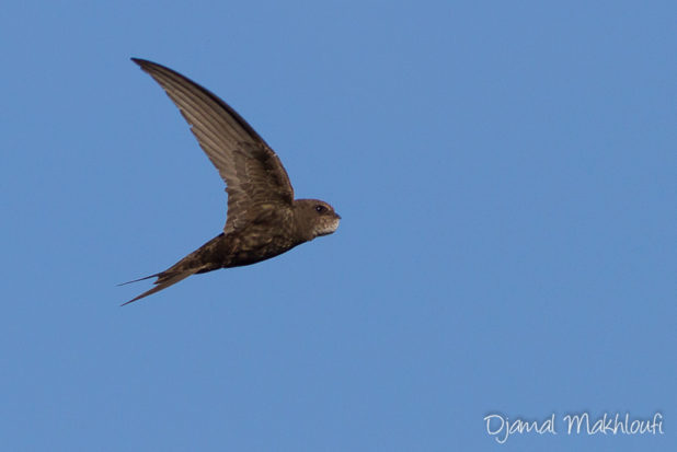 Martinet noir - Oiseau migrateur - Fontainebleau Blog