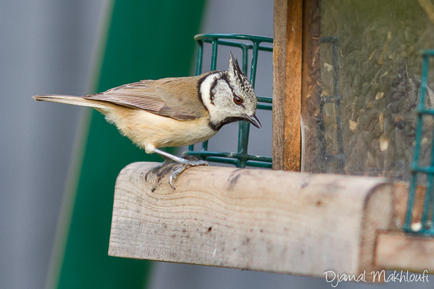 Mésange huppée à la mangeoire - Photo oiseau du jardin