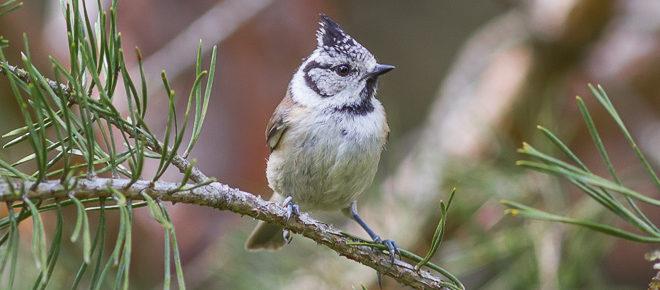 Mésange huppée (Lophophanes cristatus) Paridé de la forêt de Fontainebleau
