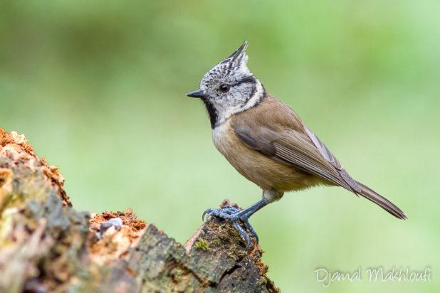 Mésange huppée - oiseau du jardin - Passereau du jardin