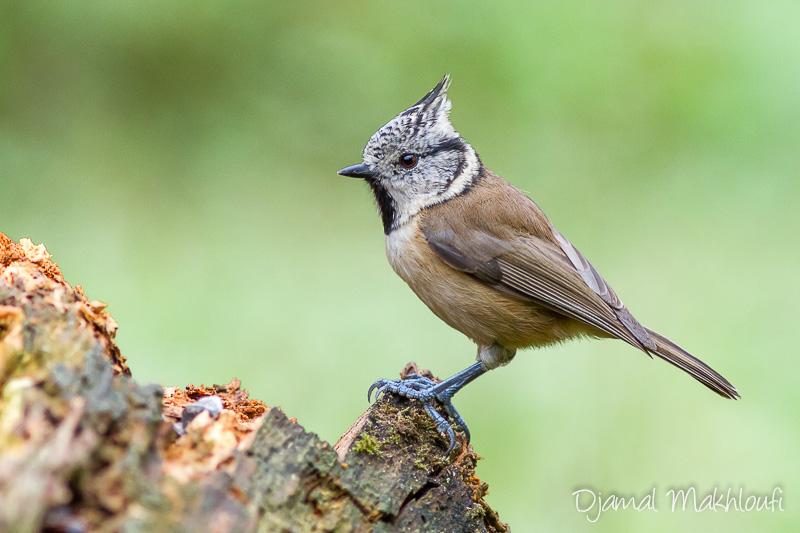 Mésange huppée - Passereau du jardin - Photo oiseau du jardin