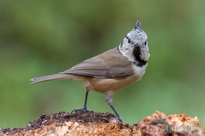 Mésange huppée (lophophanes cristatus) - Oiseau de la forêt de Fontainebleau - Photo oiseau du jardin