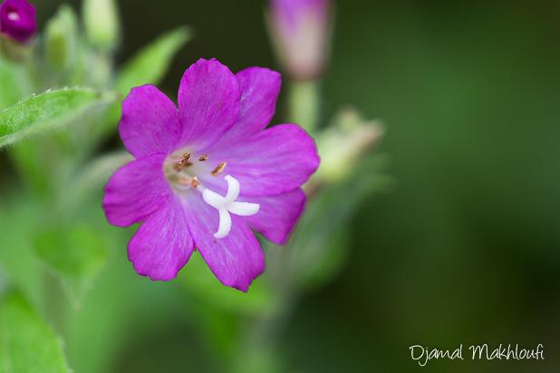Épilobe hirsute (Epilobium hirsutum) - Biodiversité de la forêt de Fontainebleau