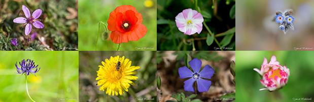 Fleurs sauvages de la forêt de Fontainebleau