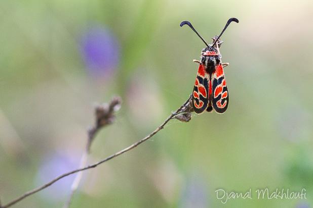 Zygène de la petite coronille - Zygène de la bruyère (papillon de la forêt de Fontainebleau)
