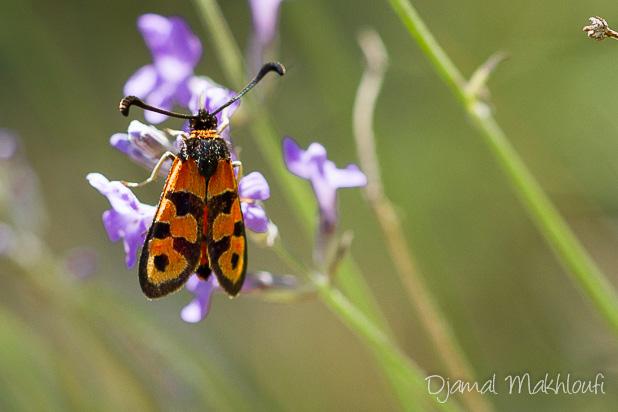 Zygène de la petite coronille (Zygaena fausta) - Petit papillon rouge