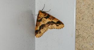 Hibernie défeuillante (Erannis defoliaria) - Papillon nocturne de la forêt
