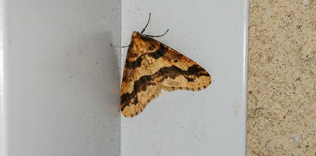 Hibernie défeuillante (Erannis defoliaria) - Papillon nocturne de la forêt de Fontainebleau
