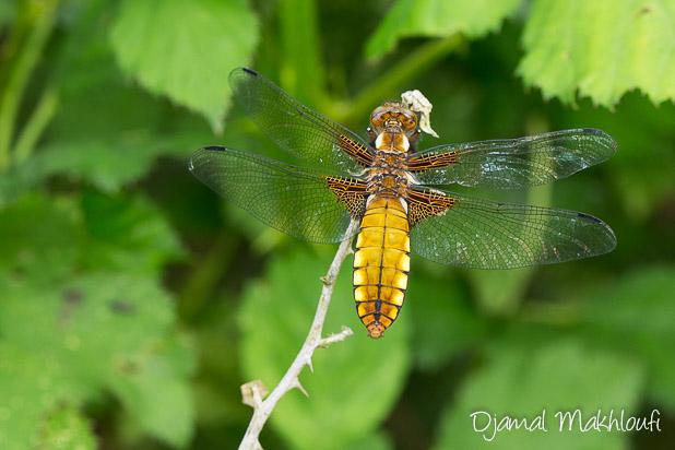Libellule déprimée (Libellula depressa) - libellules de la forêt de Fontainebleau
