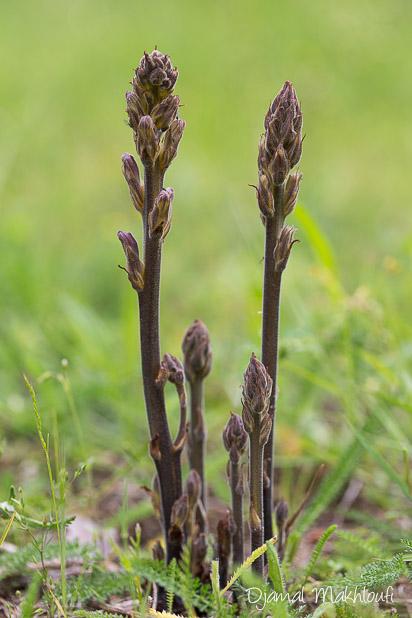 Orobanche pourprée (Orobanche purpurea) - Plante sauvage de la forêt de Fontainebleau