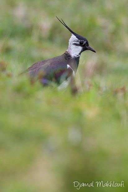 Vanneau huppé - Oiseau de la forêt de Fontainebleau